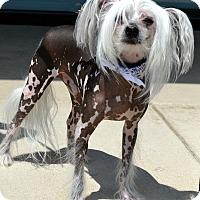 Adopt A Pet :: Ziggy - Bridgeton, MO