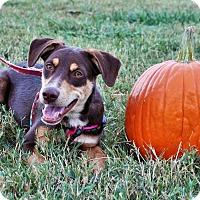 Adopt A Pet :: Dean $125 - Seneca, SC