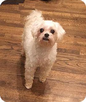 Maltese/Poodle (Miniature) Mix Dog for adoption in Atlanta, Georgia - Ozzie