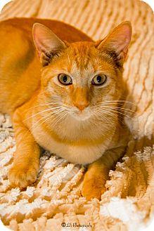 European Burmese Cat for adoption in Warner Robins, Georgia - Chigger