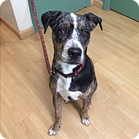 Adopt A Pet :: Will- in CT - Manchester, CT