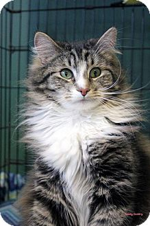 Domestic Longhair Cat for adoption in Paris, Maine - Twiggy