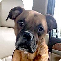 Adopt A Pet :: Loki - Cincinnati, OH