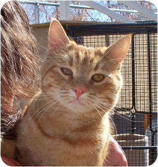 Domestic Shorthair Cat for adoption in Palmdale, California - Reilley