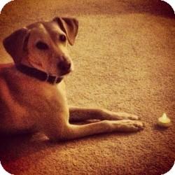 Labrador Retriever Mix Dog for adoption in Huntsville, Alabama - Fred