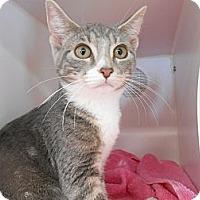 Adopt A Pet :: Vixie - Maywood, NJ