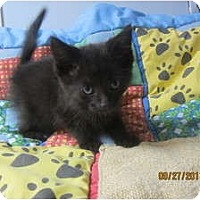 Adopt A Pet :: Aled (very vocal) - Sterling Hgts, MI