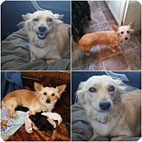 Adopt A Pet :: Foxy-Momma - Alamosa, CO