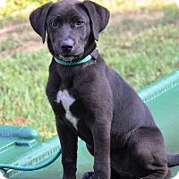 Adopt A Pet :: Shae - Pleasant Plain, OH