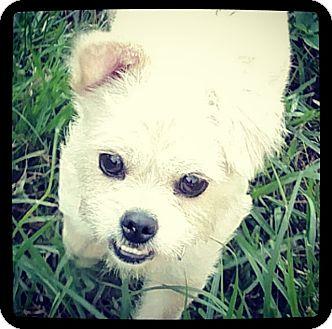 Shih Tzu Mix Dog for adoption in Grand Bay, Alabama - Josie