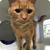Domestic Shorthair Cat for adoption in Herndon, Virginia - Moe