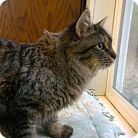Maine Coon Cat for adoption in Seattle c/o Kingston 98346/ Washington State, Washington - Bob and Dylan
