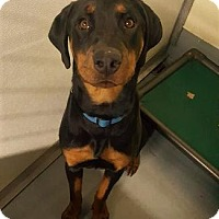 Beauceron/Rottweiler Mix Dog for adoption in Pt. Richmond, California - BART aka BEAUX