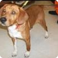 Adopt A Pet :: Red - Kendall, NY