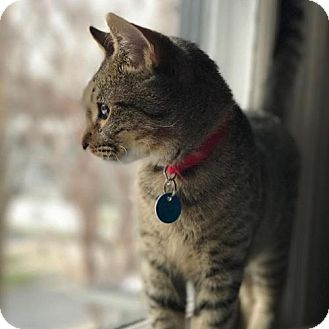 Domestic Shorthair Cat for adoption in Washington, D.C. - Angus (Has Application)
