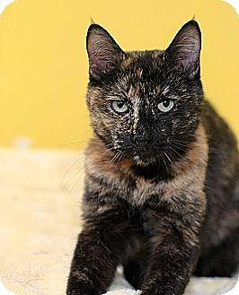 Domestic Shorthair Cat for adoption in Dallas, Texas - PAT