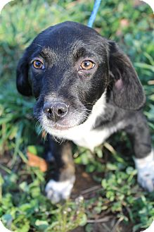 Cavalier King Charles Spaniel/Beagle Mix Puppy for adoption in Bedminster, New Jersey - Skeeter