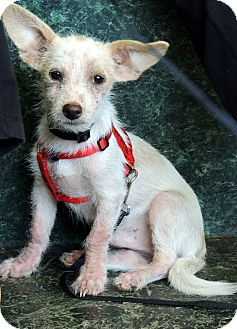Chihuahua Mix Dog for adoption in Houston, Texas - Rufus