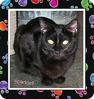 Domestic Shorthair Cat for adoption in Akron, Ohio - Sparkles