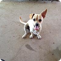 Adopt A Pet :: Bodie - Scottsdale, AZ