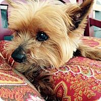 Adopt A Pet :: Toto - Los Angeles, CA