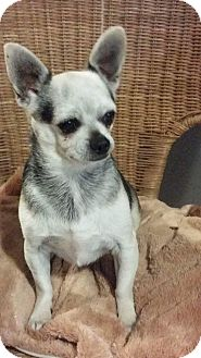 Chihuahua Dog for adoption in Troy, Missouri - Beau