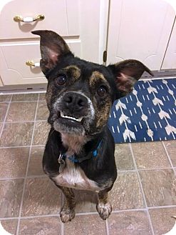 Boxer/Australian Cattle Dog Mix Dog for adoption in Knoxville, Tennessee - Perdita