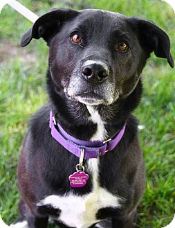 Labrador Retriever/Collie Mix Dog for adoption in Downingtown, Pennsylvania - Oreo