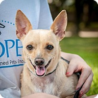 Chihuahua Mix Dog for adoption in Houston, Texas - CeCe