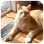 Photo 1 - Maine Coon Cat for adoption in Elkton, Maryland - Gorgeous, Gold, Polydactyl!