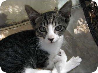 American Shorthair Kitten for adoption in Morgan Hill, California - Bella