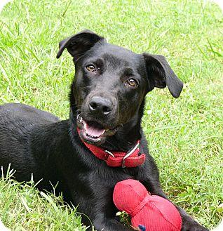 Labrador Retriever/Basset Hound Mix Dog for adoption in Mocksville, North Carolina - Roo