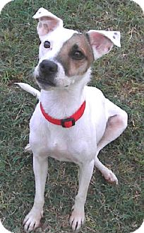 Jack Russell Terrier Dog for adoption in Phoenix, Arizona - RILEY