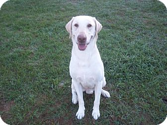 Labrador Retriever Dog for adoption in Tampa, Florida - Jackson