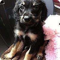 Adopt A Pet :: BELLA - Inglewood, CA