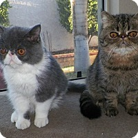 Adopt A Pet :: Shahriar - Beverly Hills, CA