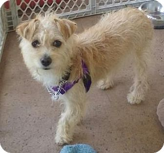 Terrier (Unknown Type, Small) Mix Dog for adoption in San Clemente, California - Katy