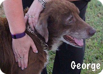 Labrador Retriever/Setter (Unknown Type) Mix Dog for adoption in Chillicothe, Ohio - George
