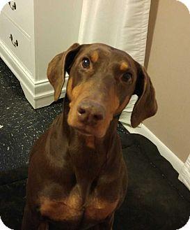 Doberman Pinscher Dog for adoption in Richmond, Kentucky - Rayna