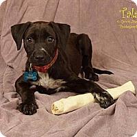 Adopt A Pet :: Tala - Houston, TX
