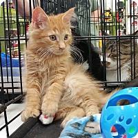 Adopt A Pet :: Big Red - Harrisburg, NC