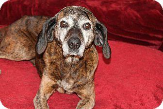Plott Hound Mix Dog for adoption in Naperville, Illinois - Georgia