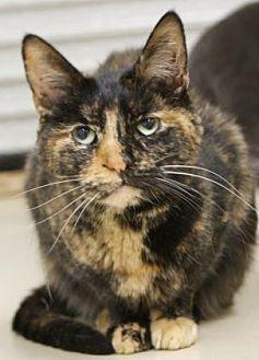 Domestic Shorthair Cat for adoption in Morgan Hill, California - Eartha Kitt