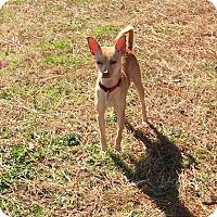 Adopt A Pet :: FiFi - Hampton, VA
