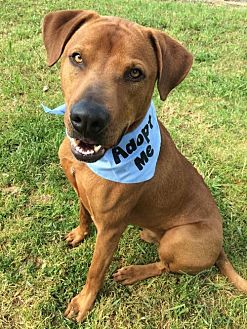 Hound (Unknown Type) Mix Dog for adoption in Corning, California - Dan