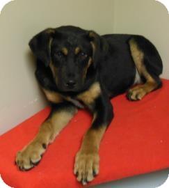 German Shepherd Dog Mix Puppy for adoption in Gary, Indiana - Elmo