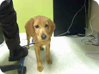 Golden Retriever/Cocker Spaniel Mix Puppy for adoption in Antioch, Illinois - Charlotte  ADOPTED!!