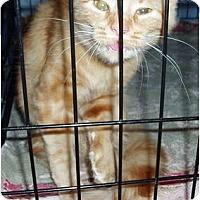 Adopt A Pet :: Pumpkin - Westfield, MA