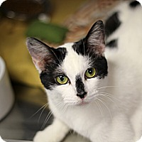 Adopt A Pet :: Lhasa - Chicago, IL