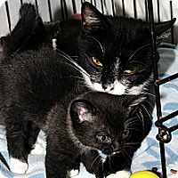 Adopt A Pet :: Squeakie 4 - Plainville, MA